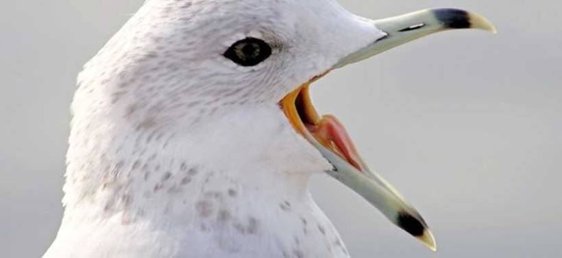 open-mouthed-gull-cropped2